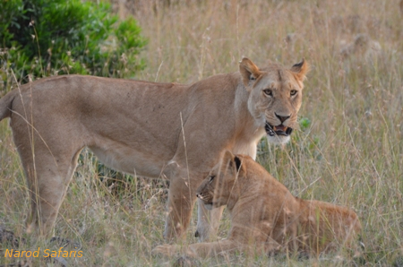 A lion with her cub, Masai Mara