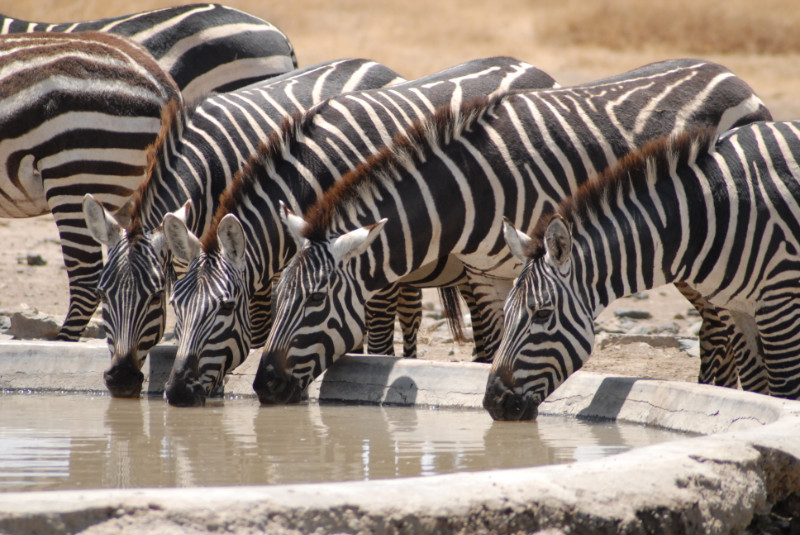 Zebras-at-Ol-Pejeta-Conservancy