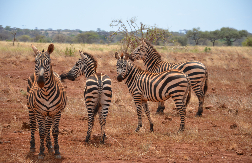 zebras-in-tsavo-national